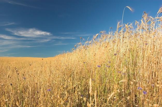 Gros plan du blé