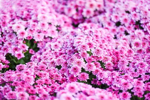 Gros plan du bouquet fleur rose chrysanthème violet belle texture de fond / fleurs de chrysanthème floraison décoration festival célébration