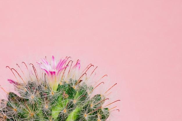 Gros plan du cactus mammillaria bombycina en fleurs sur fond rose.