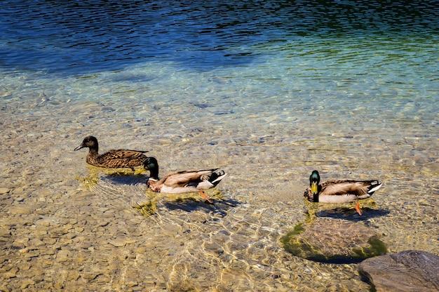 Gros plan du canard colvert nageant dans une eau claire