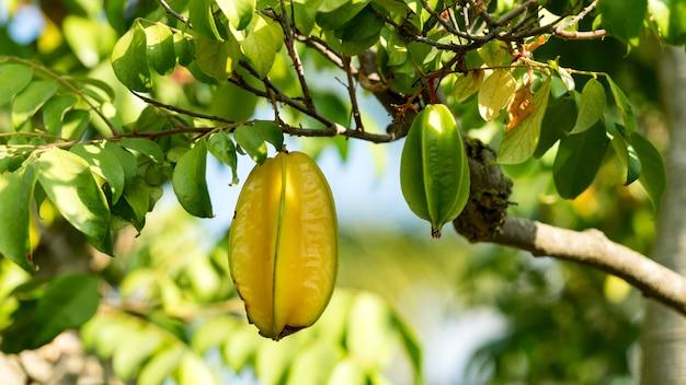 Gros plan du carambole carambole poussant sur une branche avec des feuilles vertes israël