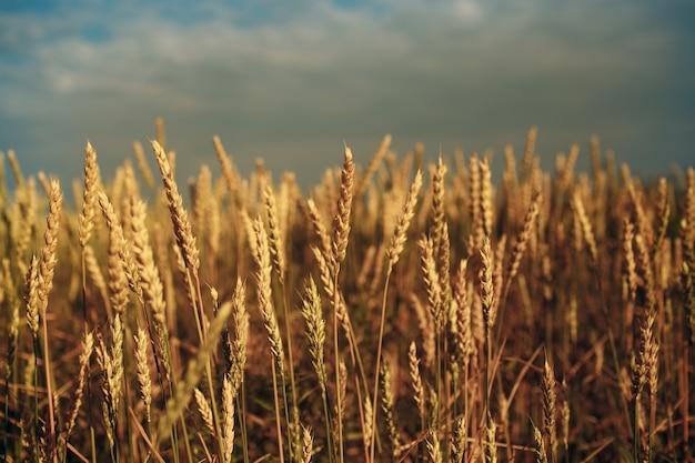 Gros plan du champ d'épis de blé mûr. mise au point sélective.