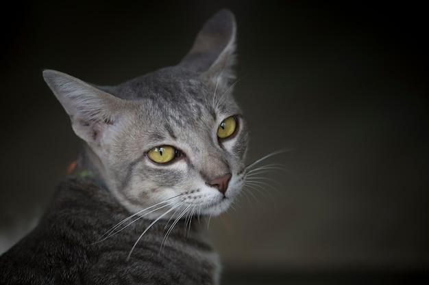Gros plan du chat dans le noir