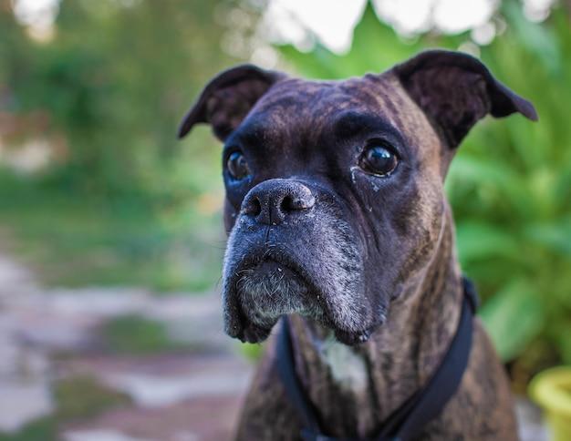 Gros plan du chien boxer