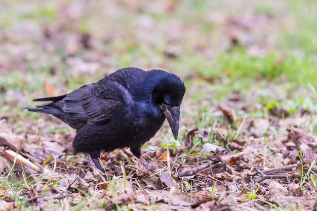 Gros plan du corbeau dans l'herbe
