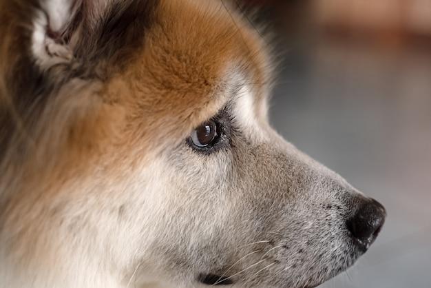 Gros plan du côté droit du visage du chien, des yeux bruns et du gros nez, regardant à droite quelque chose, une lumière floue autour
