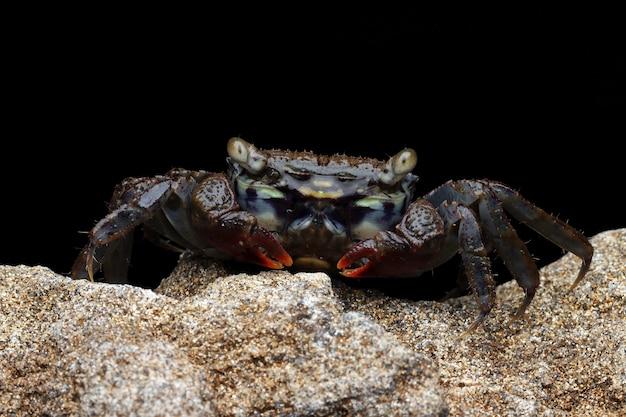 Gros plan du crabe des marais à griffes rouges sur le rocher de la mer avec fond noir