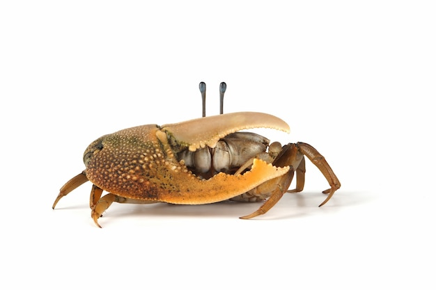 Gros plan du crabe violoniste sur blanc