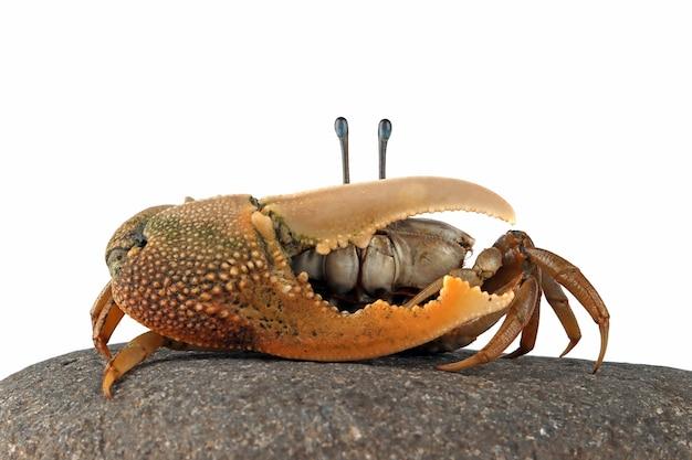 Gros plan du crabe violoniste sur fond blanc