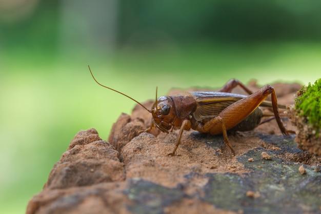 Gros plan du cricket domestique (acheta domestica)