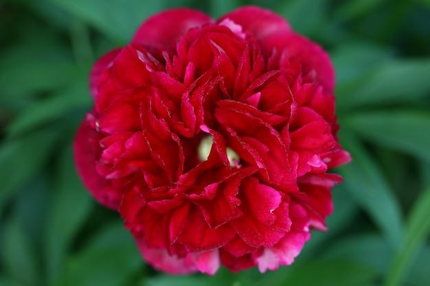 Gros plan du dahlia rouge avec arrière-plan flou