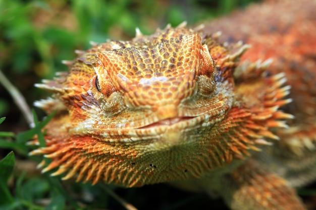 Gros plan du dragon barbu
