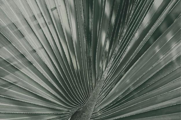 Gros plan du fond texturé de feuille de palmier de ventilateur