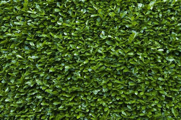 Gros plan du fond de texture de haie verte