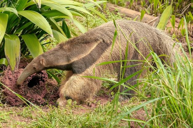 Gros plan du fourmilier géant creuser pour les termites