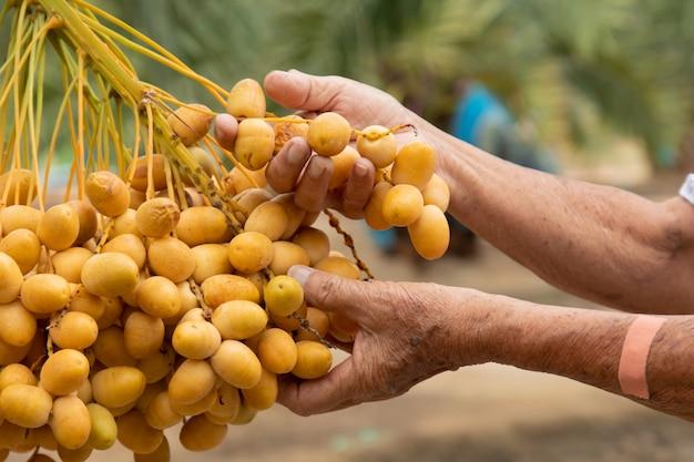 Gros plan du jardinier en prenant soin de la plantation de dattiers