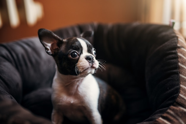 Gros plan du jeune joli chien assis sur le fauteuil. boston terrier.