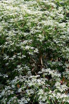 Gros plan du magnifique buisson de neige