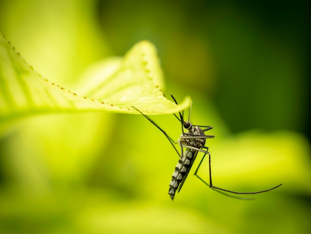 Gros plan du moustique aedes aegypti