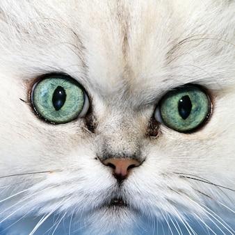 Gros plan du museau du chat blanc, regardant vers la caméra