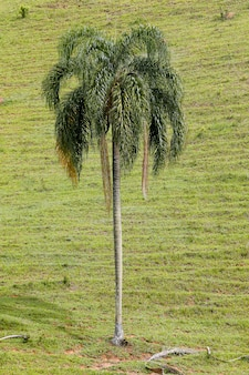 Gros plan du palmier avec fond d'herbe verte fermée. brésil