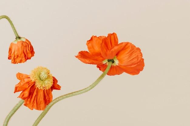 Gros plan du papier peint fleurs de pavot rouge