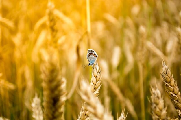 Gros plan du papillon bleu dans un champ de blé.