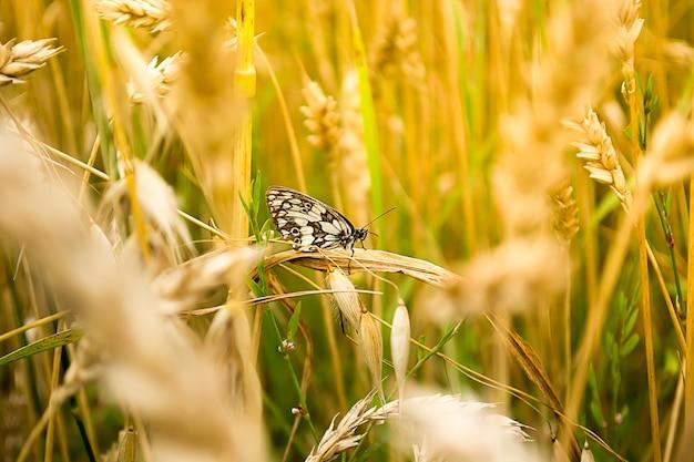 Gros plan du papillon brun dans un champ de blé.