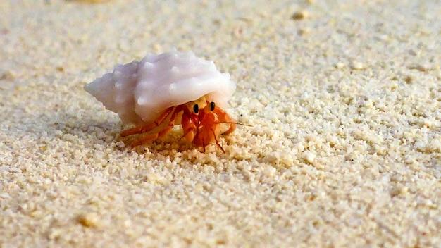 Un gros plan du petit bernard-l'ermite, maldives.