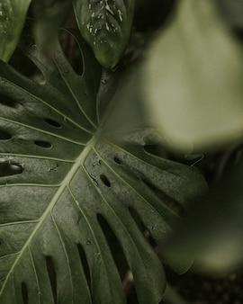 Gros plan du philodendron vert feuille fendue