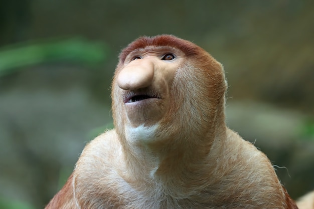 Gros plan du singe du bekantan ou du singe au long nez