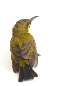 Gros plan du sunbird à dos d'olive