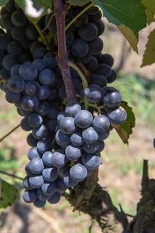 Gros plan du tas de raisins de cuve, au point de récolte