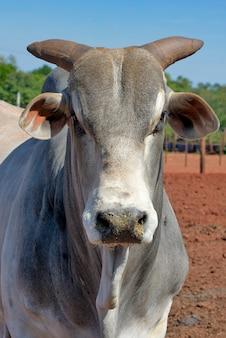 Gros plan du taureau zébu de la race nelore