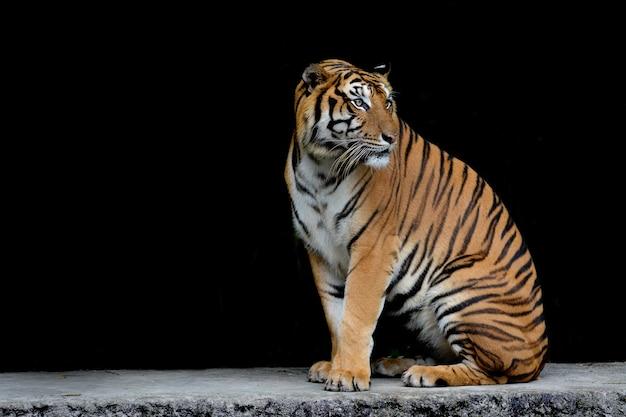 Gros plan du tigre du bengale et fond noir