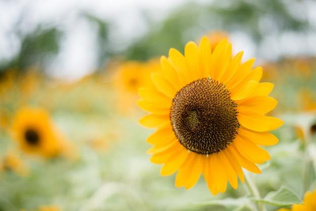 Gros plan du tournesol en fleurs sur le terrain avec fond de nature floue.