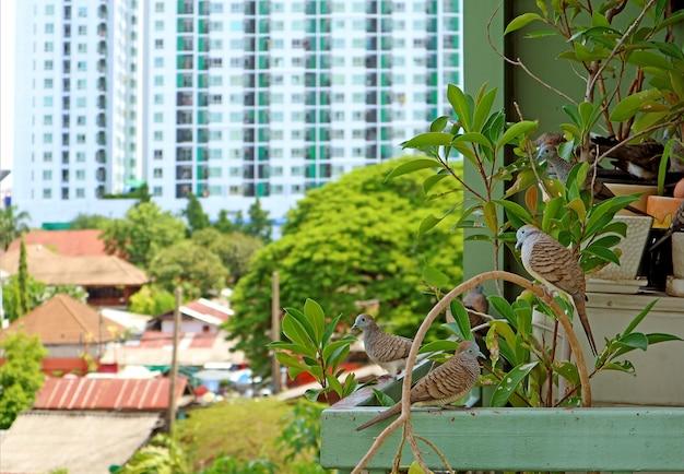 Gros plan du troupeau de colombes zébrées sauvages se reposant sur des plantes d'intérieur avec un bâtiment haut flou en toile de fond