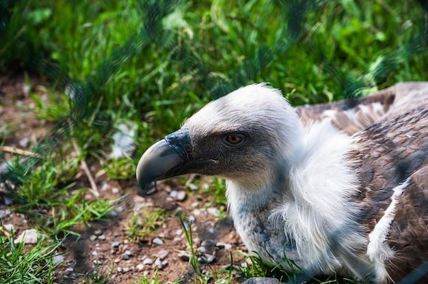 Gros plan du vautour fauve (gyps fulvus) dans un zoo