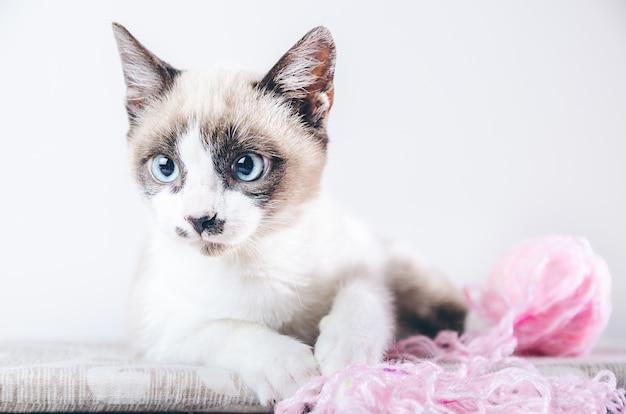 Gros plan du visage brun et blanc d'un joli chat aux yeux bleus