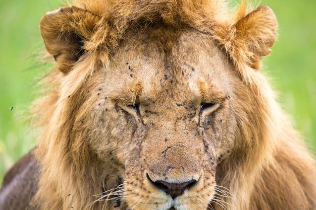 Un gros plan du visage d'un lion dans la savane du kenya