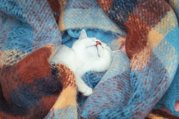 Gros plan du visage mignon chat chinchilla britannique. le chaton dort enveloppé dans une couverture de couleur chaude. le froid hivernal.