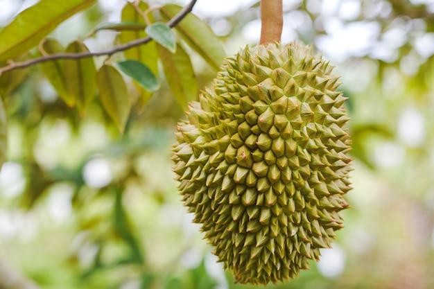 Gros plan durian haut dans le verger de thaïlande.