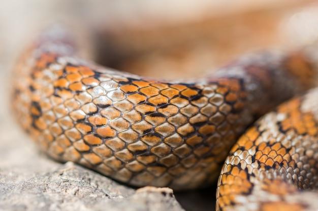 Gros plan sur les écailles d'un serpent léopard adulte