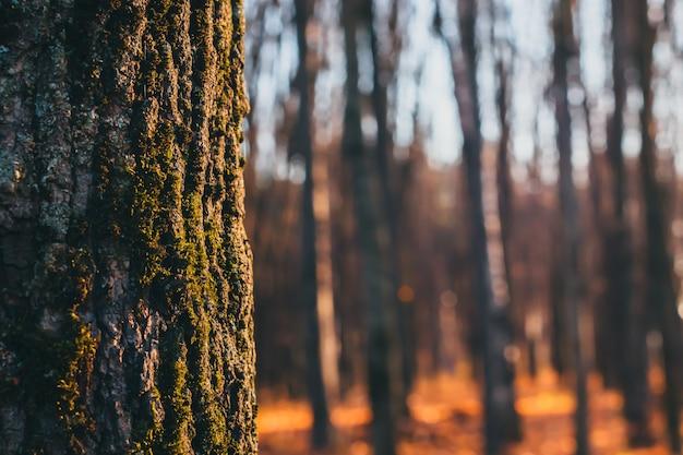 Gros plan de l'écorce d'un arbre avec de la mousse verte dessus. forêt estompée sur fond, espace copie