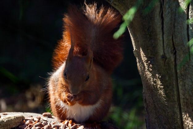Gros plan d'un écureuil roux eurasien (sciurus vulgaris)