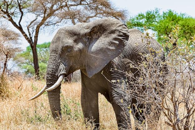 Gros plan d'un éléphant mignon marchant sur l'herbe sèche dans le désert