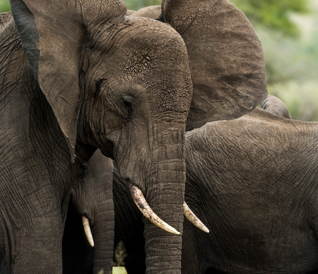 Gros plan, de, a, éléphant, serengeti, tanzanie, afrique