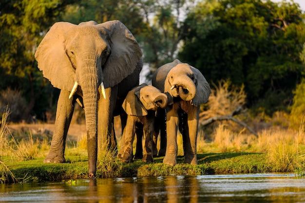 Gros plan d'éléphants debout près du lac au coucher du soleil