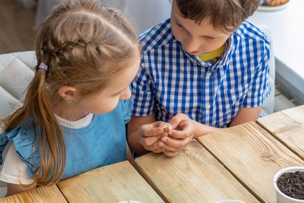 Gros plan, les enfants tiennent dans leurs mains et examinent la graine de citrouille germée