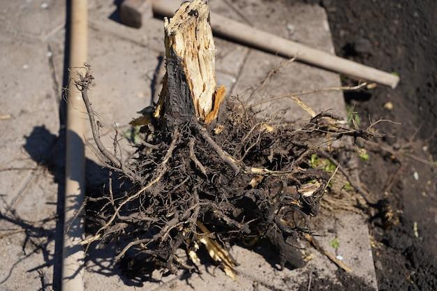 Gros plan enlevez l'arbre sec en retirant ses racines avec une pelle, des outils de jardin. photo de haute qualité